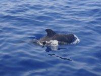 有一天,观看特内里费岛的动植物群 - 大西洋海域的海豚--999-发现一只巨大的海龟