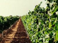 Caminos de viñedos