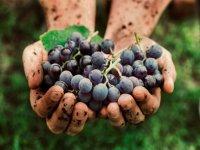 Vendimiando los viñedos