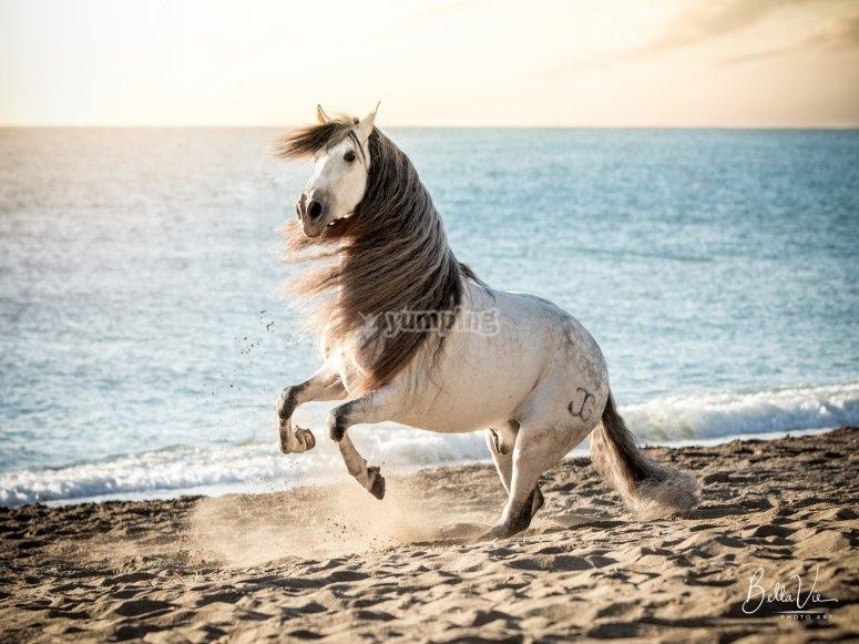 Caballo danzando en la playa de Málaga