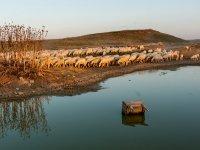 Cañada real de los roncaleses con un rebano de ovejas.jpg