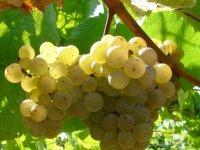 racimo de uva blanca