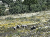 The best Iberian pigs in the Extremaduran pasture