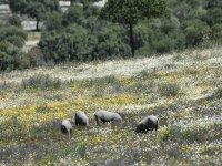 Los mejores cerdos ibéricos en la dehesa extremeña