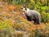 在山上看到棕熊