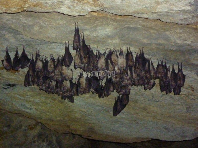 Murciélago durmiendo en la cueva