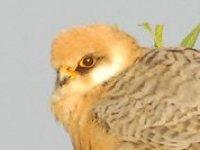 breeding of hawk