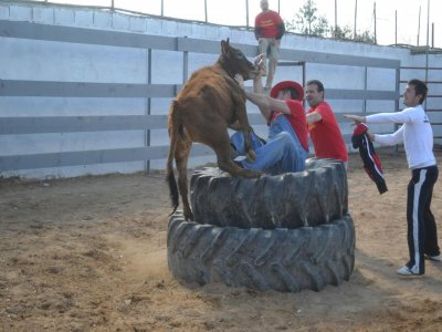 Heifer fighting in Sagunto for groups daytime