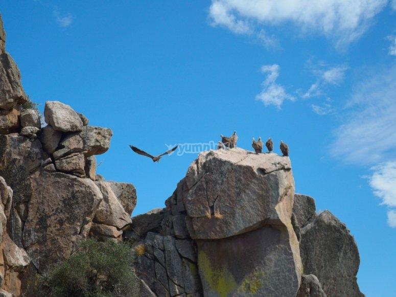 Buitres en las rocas