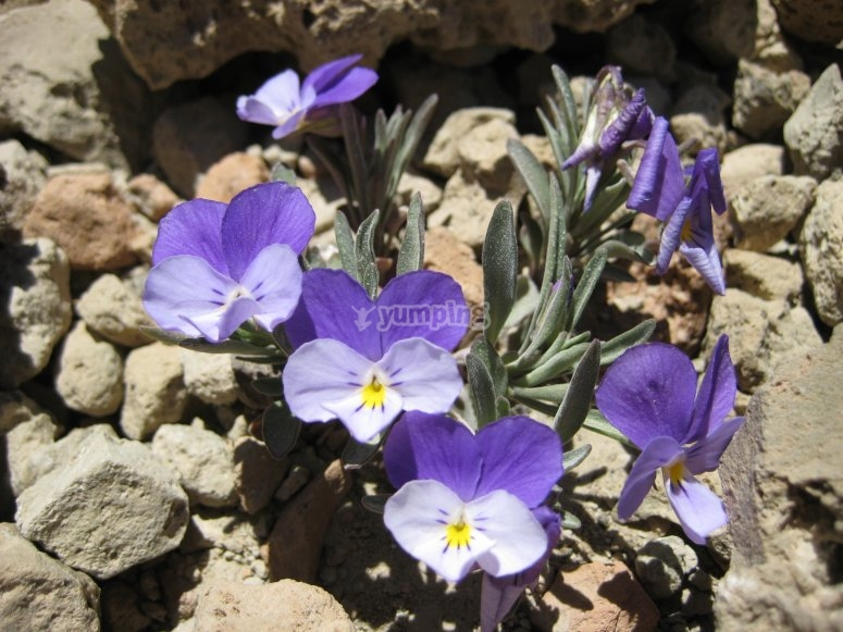 Violetas del Teide