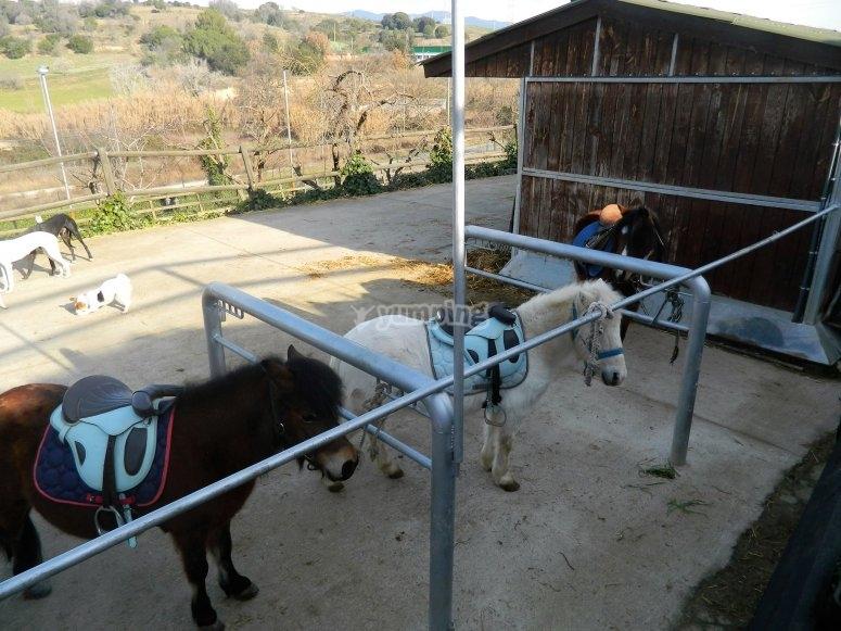 Ponys nel campo