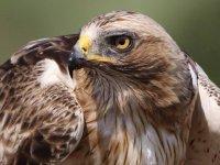 雄伟的鹰看看