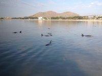 马略卡岛的海豚群