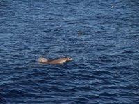 Delfín en el Mediterráneo balear