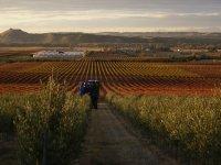 View of the vintage vineyard