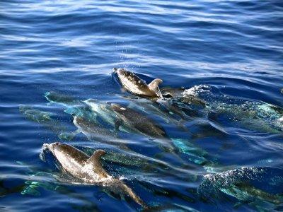 从船上看到富埃特文图拉岛的海豚