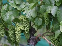 Discover the vines
