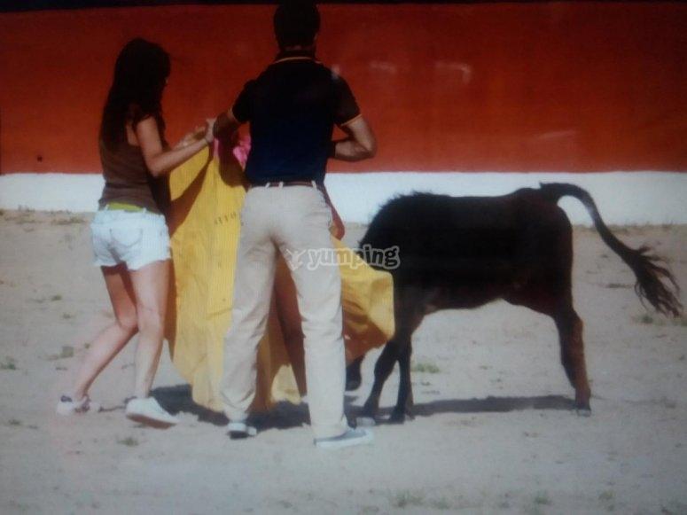 Capea与小母牛