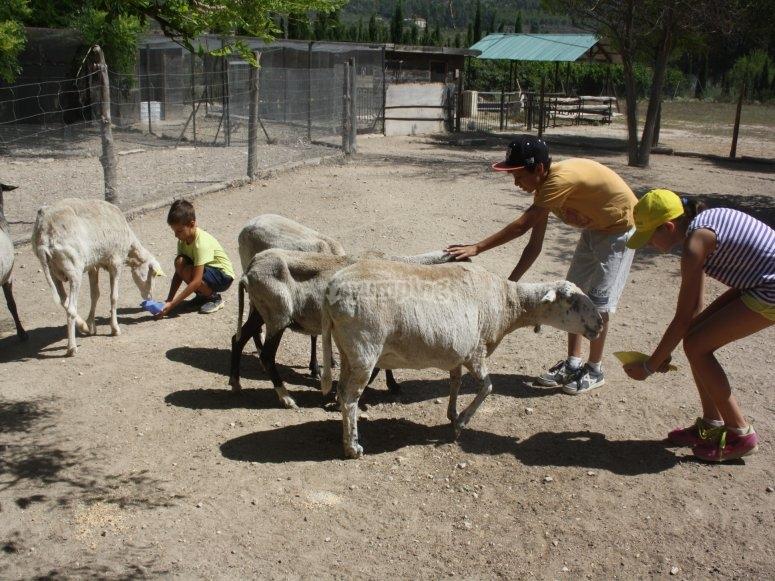 Dando de comer a las ovejas