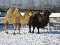 Camellos Bactrianos