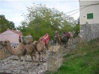 camellos en ruta
