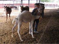 con la cria de camello