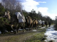 con los camellos en ruta