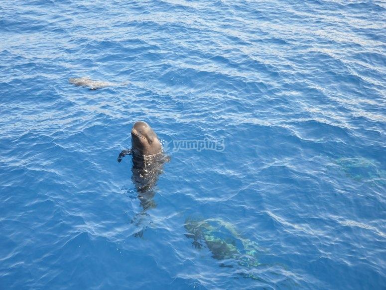 An exemplary cetacean