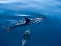 现货海豚拉帕尔马水下观成人