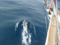 Junto a los delfines con el velero