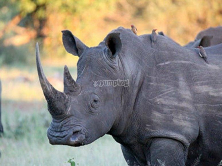 rinoceronte en safari