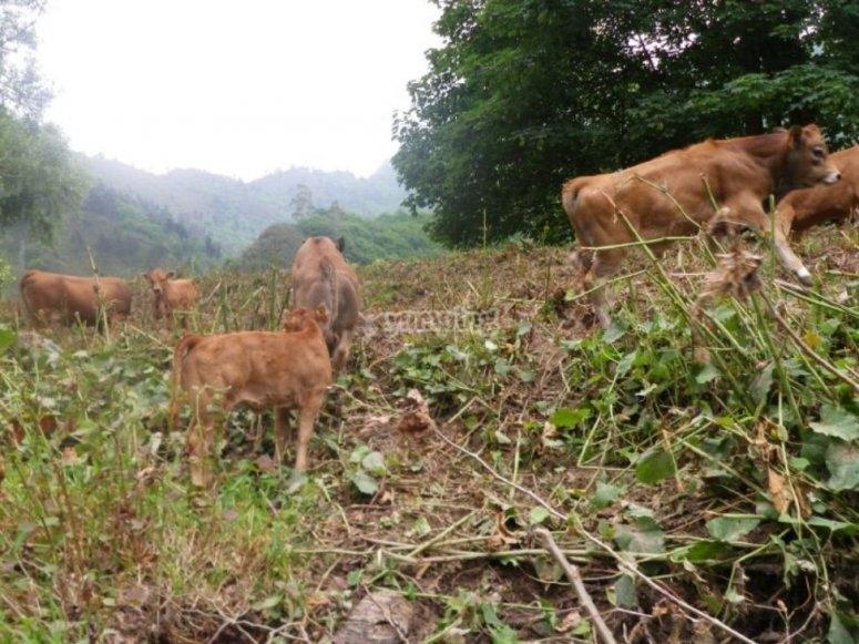 Cattle of Asturias