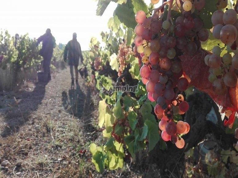 Raccolta delle uve