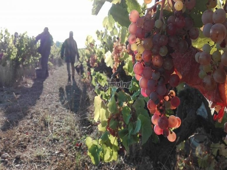 Recogiendo la uva