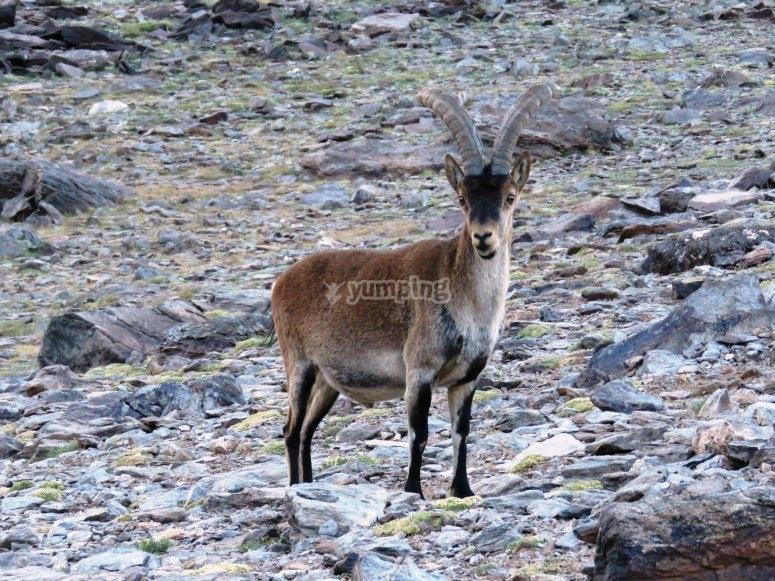 Fauna del Mulhacén