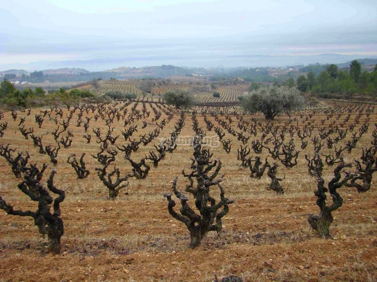 该地区的葡萄园Apertivo