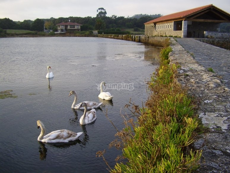 Swans in the water