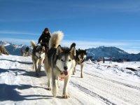 雪橇狗在雪地里