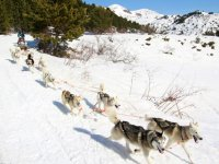 Mushing dogs pulling the sled