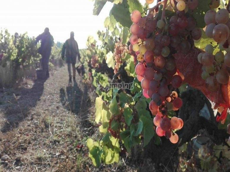 采摘的葡萄葡萄成熟