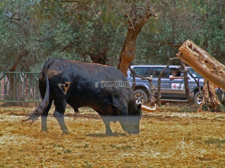 Entrando en los toros