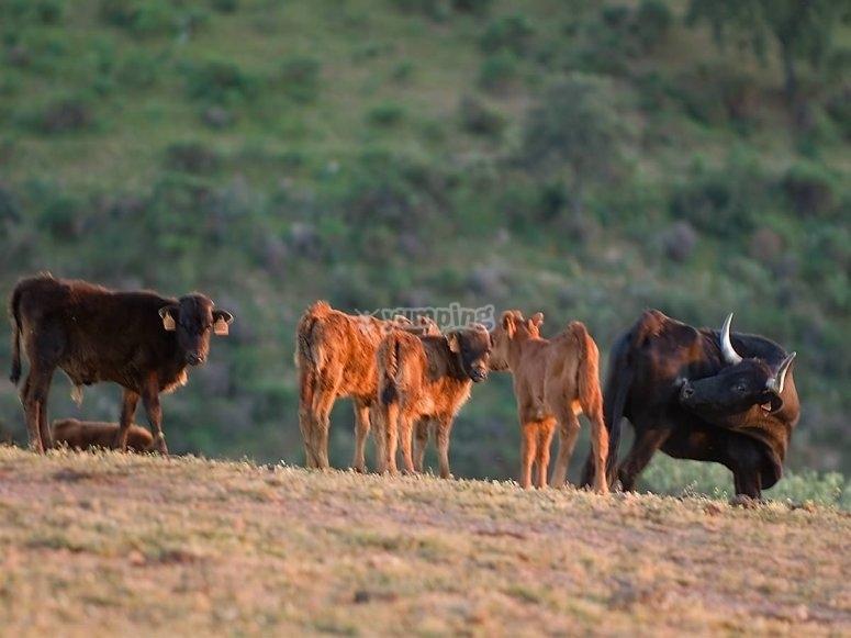 Vacas con sus becerros