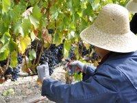 Recolectando la uva
