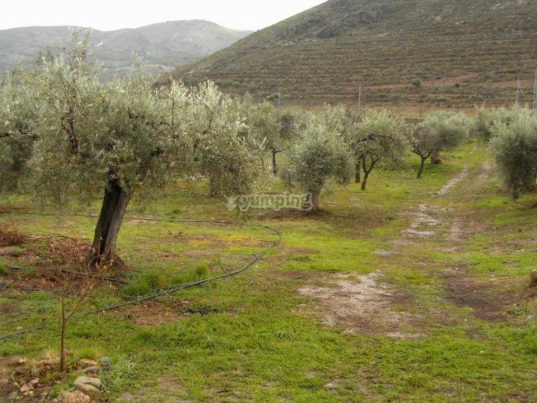 Olivos ecológicos