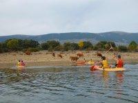 Kayak riders next to the livestock