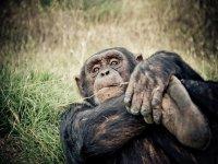 Mono cogiendose del pie