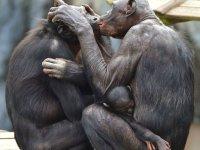 Monos dándose un beso