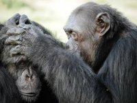 Monos quitándose piojos