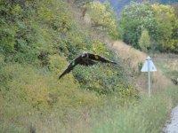 观看一个大胡子的秃鹰