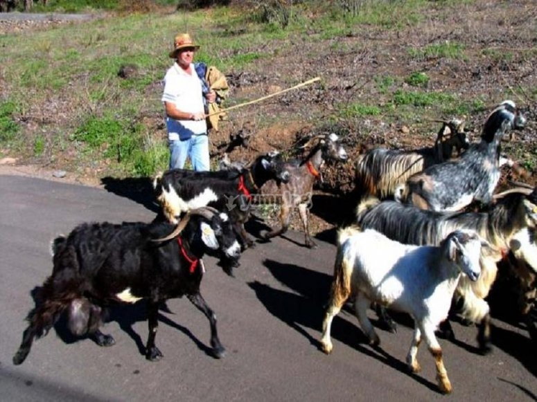 Pastoreo de cabras